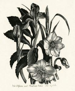 Clare Leighton wood engraving Iris Stylosa and Christmas Rose ca. 1934